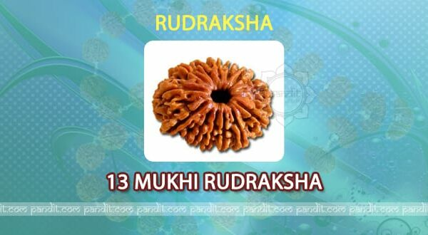 13 mukhi Rudraksh